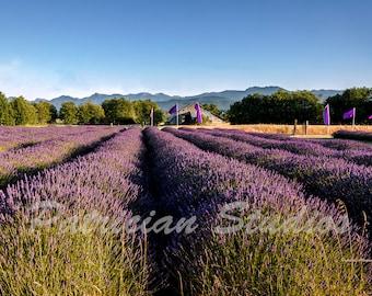 Lavender Fields in Sequim, Washington