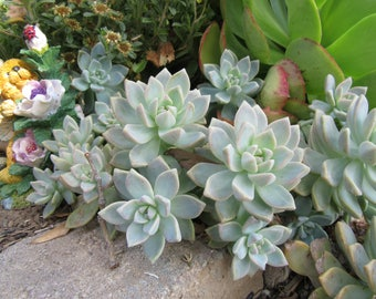 Succulents Cuttings Succulent Graptopetalums Ghost Ghosty Five