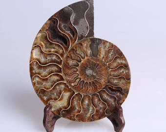 Split Ammonite Fossil Specimen Shell Healing Madagascar,Natural Home Decor+ Free Wenge Stand J508L