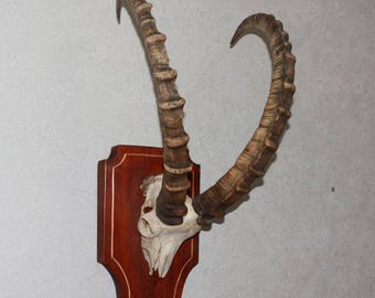 Siberian Ibex - Taxidermy Mount Antlers, Horns For Sale - Wild Mountain Goat - ST4006
