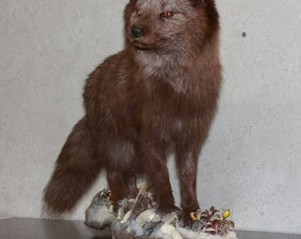 Arctic Fox - Taxidermy Mount, Stuffed Animal For Sale - Polar Fox, Snow Fox - ST3691