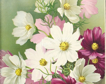seeds_catalogs-01440 - Cosmos Hybrida Giant cosmus adenolepis cosmea flower digital vintage picture printable high resolution white purple