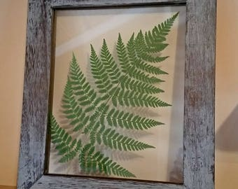 "Real Pressed Fern 12.75"" x 10.75"" - FREE SHIPPING"
