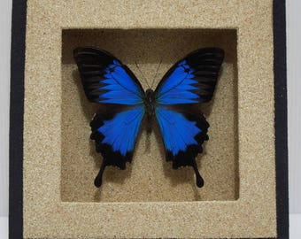 Papilio ulysses Blue Mountain Swallowtail Taxidermy Butterfly in Sandy Textured Frame