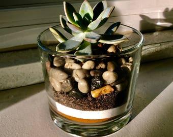 Cafe Mocha Succulent