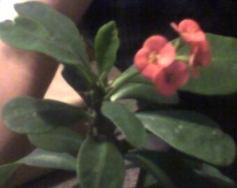 Euphorbia Milli  crown of thorns  ruby red