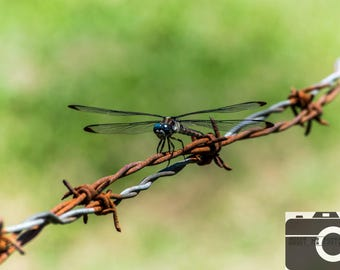 Dragonfly Photography, Rustic Fence , Insect Print, Photography Canvas, Barbwire Dragonfly, Bug Poster, Metal Print, Blue ,Green, Rust, Red