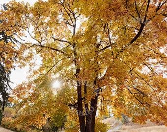 Maple Tree, Autumn Decor, Nature Photography, Wall Art, Fine Art Print