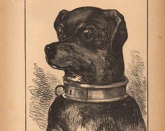 1889 Steel Engraving VICTORIAN SHORTHAIR DOG