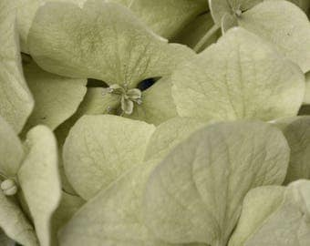 Green Gray Home Decor Flower Photography Floral Wall Art Hydrangea