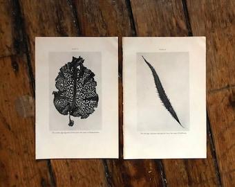 2x c. 1934 SEA WEED PRINTS lithographs - original vintage prints - algae prints - sea flora - ocean plants - marine botanical prints