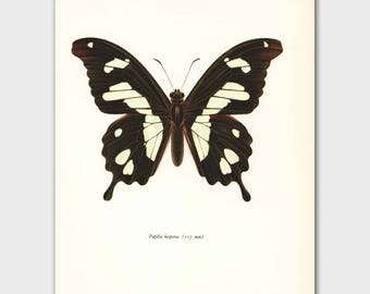 "Butterfly Decor (Natural History Wall Art, Vintage Yellow Cottage Print) --- ""Ivory Coast Swallowtail"" No. 26-1"