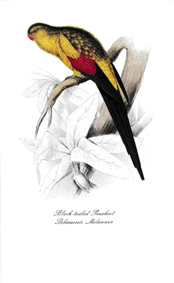1940's print of parrot, Black-tailed Parakeet, reproduction of coloured lithograph by Edward Lear, yellow, red, black feathered bird