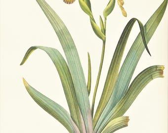 yellow Iris flower botanical print vintage illustration Pierre-Joseph Redouté gardening gift plant lover cottage decor  8.5 x 12 in