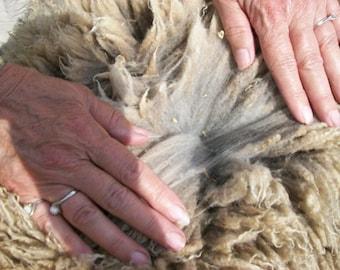 CVM (California Variegated Mutant) 2017 raw wool Nusco #3926 1 oz Coated fleece