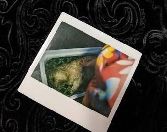 Vintage post mortem dog Yorkie in a casket Polaroid