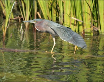 Poster, Many Sizes Available; Green Heron North Pond Chicago