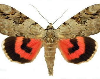 Supplies for your artworks taxidermy - dried insects - :  Two noctuoidae Catocala electa from Ukraine  , folded unspread, FREE SHIPPING