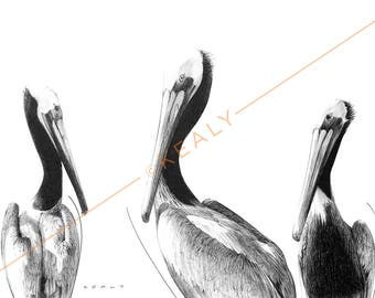 Pelicans Drawing Print – Black and White