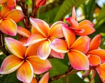 Live Plumeria Frangipani Plant/Cuttings/Seeds Ruby Red, Mardi Gras, Lemon Drop Fragrant + Free Gift!