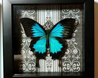 REAL Framed Blue Swallowtail, Papilio Ulysses, from Indonesia