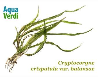 Cryptocoryne crispatula var. balansae
