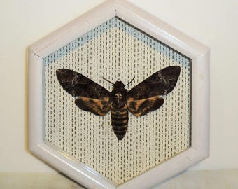 Real moth framed DEATH'S HEAD Moth in the movie silence of the lambs!!