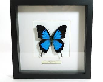 Mounted butterfly taxidermy, mounted butterfly in List giant Ulysses (Nature decoration)