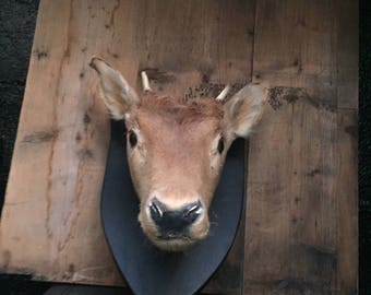 Antique/Vintage Taxidermy Large Waterbuck Head Mount/Dear/Antelope/Stag Great interior decor/wall mount/design piece