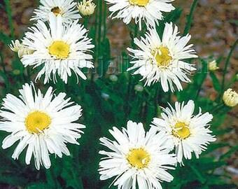 Crazy Daisy 'Snowdrift' Seeds/  Leucanthemum x superbum / A Twisted Garden Delight