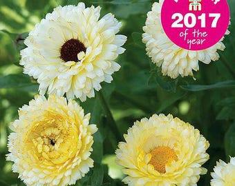 Calendula 'Snow Princess' Seeds/ Calendula officianalis AKA English Pot Marigold