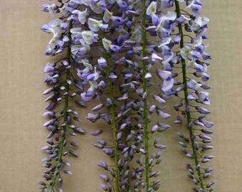 Wisteria floribunda Geisha, grafted plant, RARE ITEM