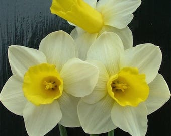 Bravoure Narcissus Bulbs/10