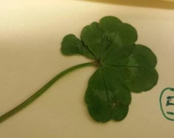 5 Leaf Clover, 4 Leaf Clover, Lucky Clover, Shamrock Token, Good Luck Symbol, Four Leaf Clover, White Clovers, Rare 5 Leaf Clover, Authentic