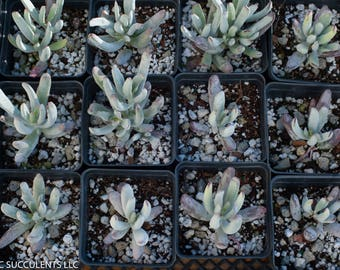 """Coytloden White Sprite  Growing in 4"""" square nursery pot"""