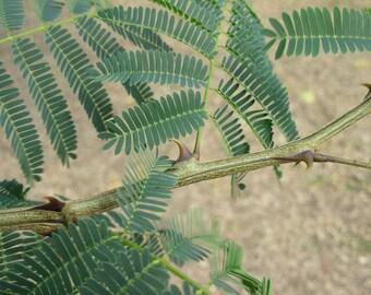 50 Seeds Acacia catechu,  Mimosa catechu Seeds , Cutch Tree, black catechu, black cutch, cashoo, catechu, wadalee gum