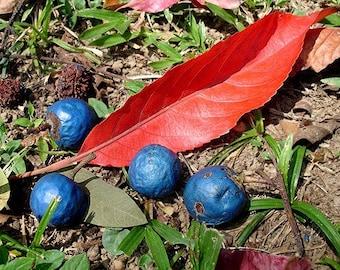 20   Elaeocarpus ganitrus Seeds, Rudraksha Mala Seeds For Growing
