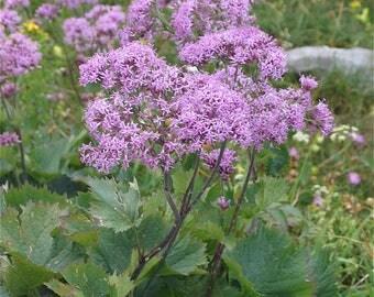 25 Adenostyles alpina Seeds , Alpine Plantain Seeds
