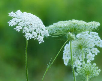 Queen Annes Lace, beautiful wild flower Free ship USA, world wide shipping