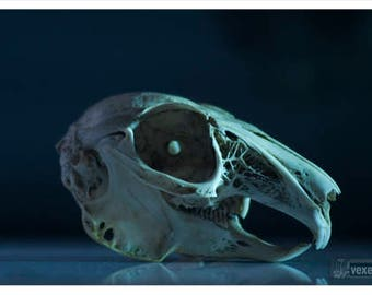 Skull Art | Rabbit Skull Photography | Animal Bone Art | Prints of Pictures | Skullz