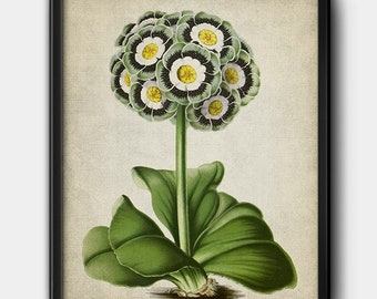 Primulas · Botanical · Instant Download · Vintage · Flowers · Printable #205