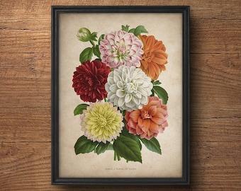 Dahlias Print, Antique French Dahlias prints, Botanical Prints, Botanical illustration, Botanical Art, Vintage Botanicals, Flower print
