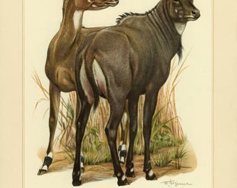 Vintage lithograph of the nilgai or blue bull from 1956