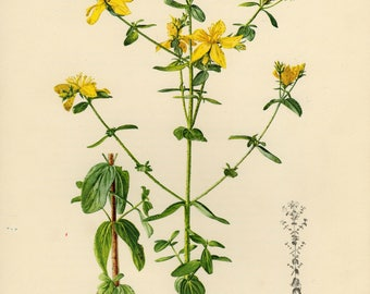 Vintage lithograph of the perforate St John's-wort, common Saint John's wort or St John's wort from 1953