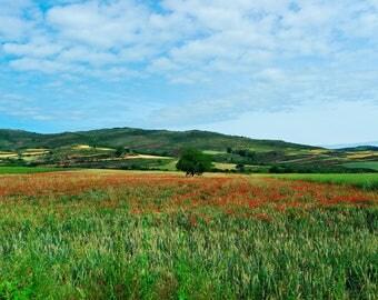 Poppy fields in Matute (Photo print)
