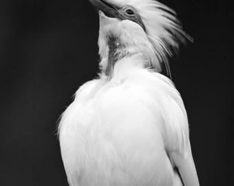 Bali Starling In Black And White