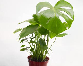Split Leaf Philodendron, Swiss Cheese Plant, Monstera Deliciosa, Monstera Plant, House Plant, Apartment Decor, Cheese Plant, Indoor Plants