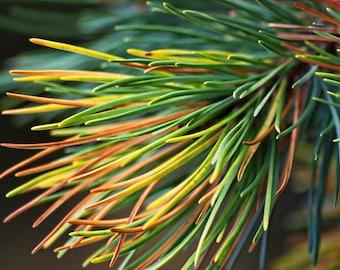 Tropical Spruce
