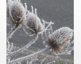 """""""Post frost Thistles"""" Poster 80x60cm"""