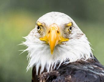 Bald Eagle Blank Greetings Card